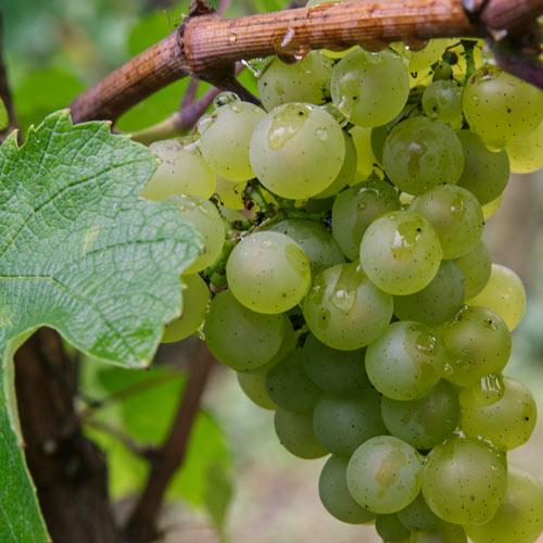 vins-jura-etoile-montbourgeau-jura-carre-domaine-2